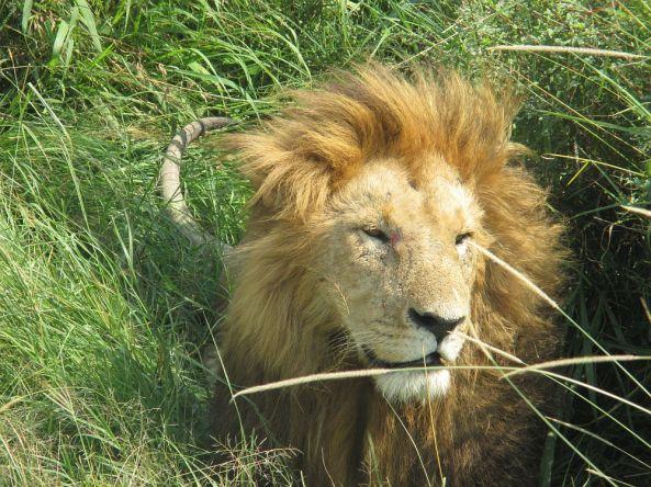 Ein Löwe im Gras