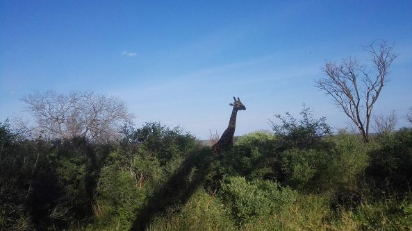 Safari Tour - Giraffe