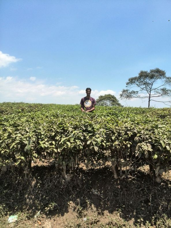 Ich pflücke Tee in Indonesien ;)